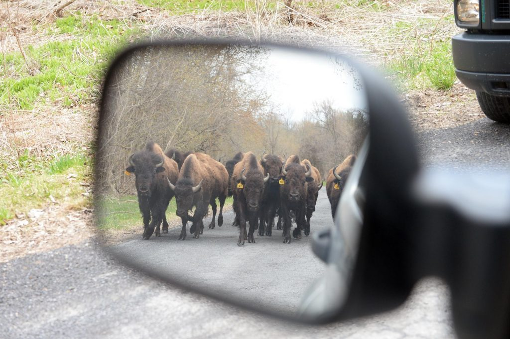 Bison on rampage near Albany NY